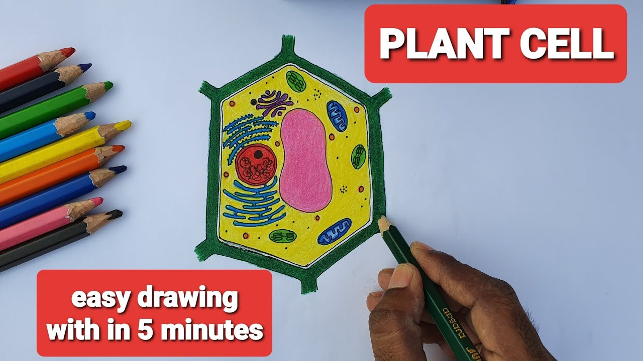 HOW TO DRAW PLANT CELL EASILY? SIMPLE AND EASY WAY TO DRAW ...