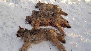 Охота на волков добыча