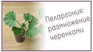 Пеларгония: размножение черенками(Пеларгония - одно из красивейших комнатных растений. В этом видео мы вместе попробуем размножать пеларгони..., 2013-10-25T19:20:18.000Z)