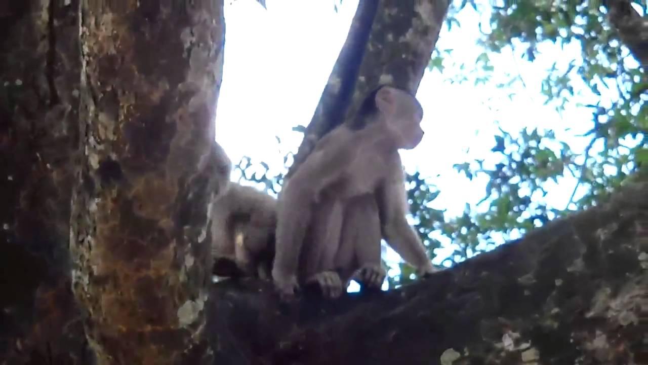 Capuchin monkey - CreationWiki, the encyclopedia of creation