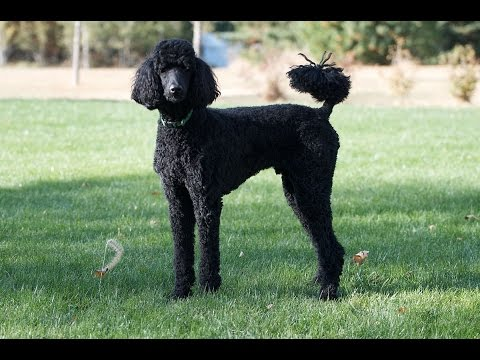Standard Poodle dog - dog breeds ( the facts, info, dog training tips, health care )
