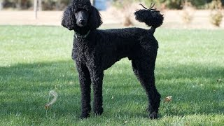 Standard Poodle dog  dog breeds ( the facts, info, dog training tips, health care )