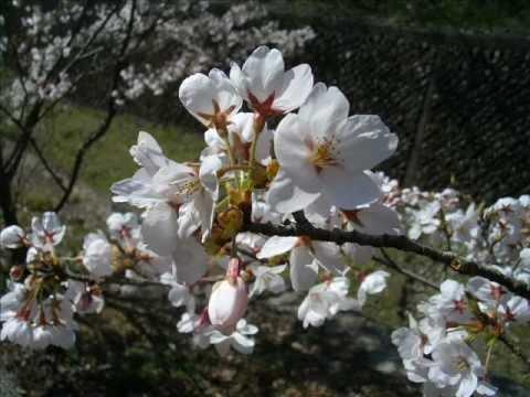 Sakura2012 for Nino