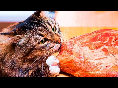 CATS STEALING HUMAN FOOD compilation food cat funnycat12
