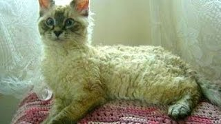 Animal Planet  :  Cats 101 ~ LaPerm