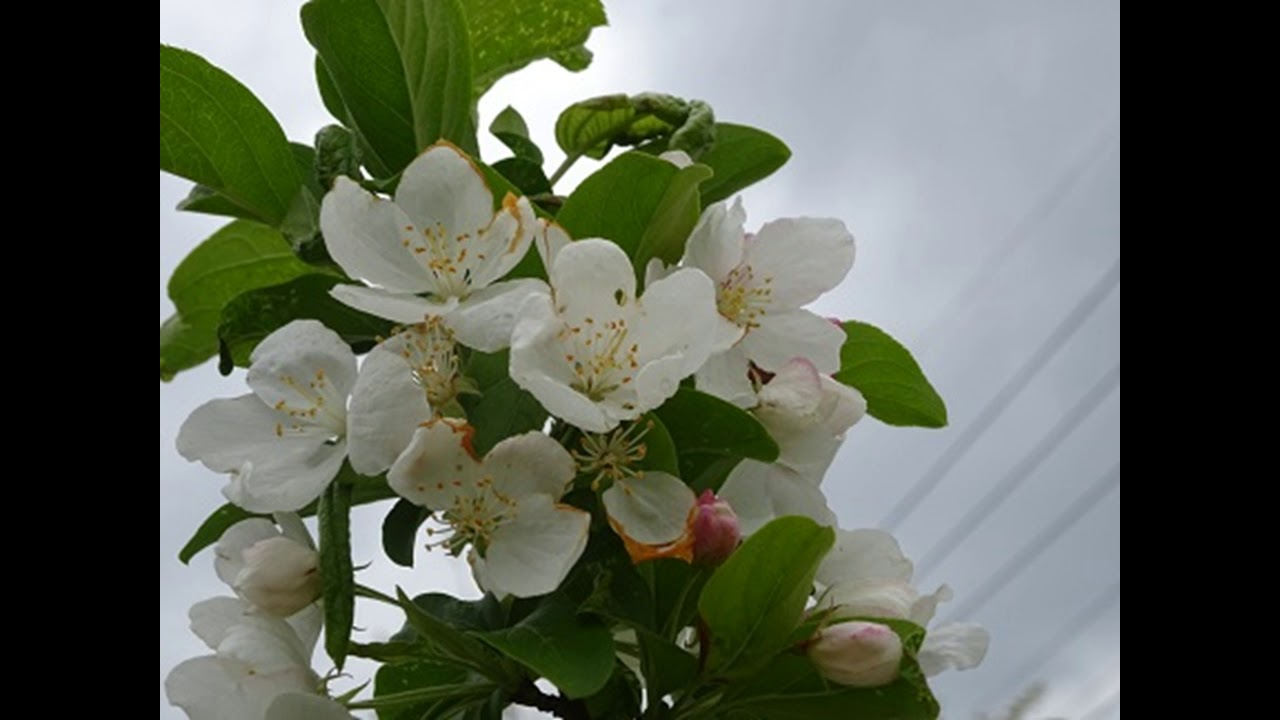 林檎の花が降りそそぐ 城左門作...