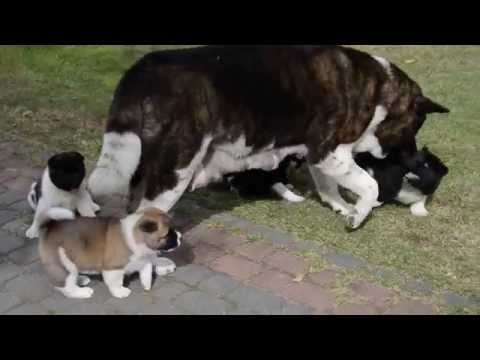 American Akitas  puppies 5 weeks.-Dog Breeding Gaudeamus Camo FCI