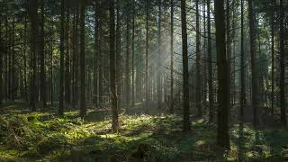 Birds Singing In The Morning Forest 4k (no loop)