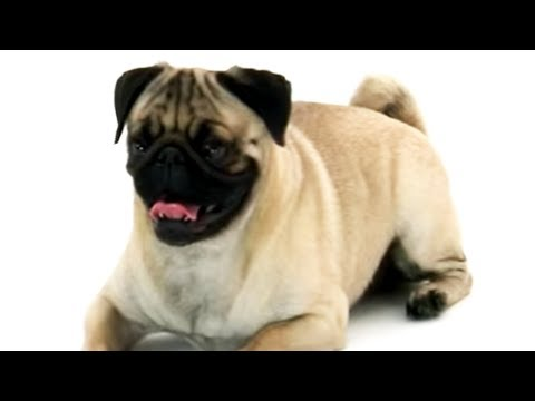 pug-|-dogs-101
