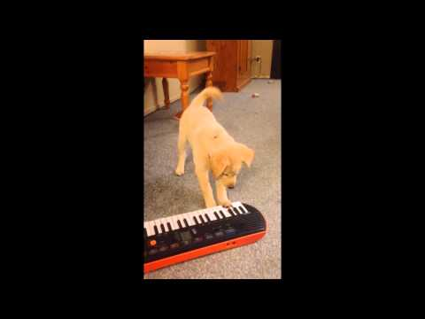 Adorable Lab Puppy Plays Piano