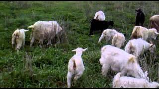 Сколько козлят приносит коза