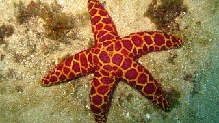 Красавицы  морей. Морские звёзды.