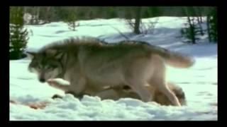 Dokumentation über Wölfe