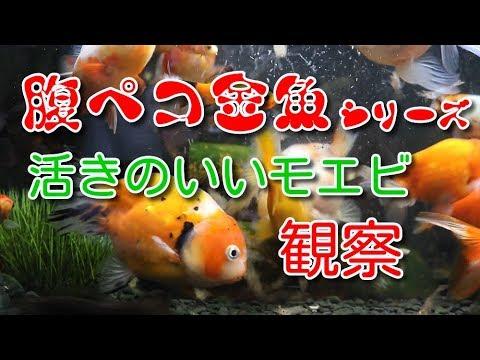 腹ペコ金魚シリーズ活きのいいモエビを与える観察