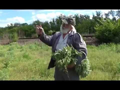 Полынь (трава) – полезные свойства и применение полыни
