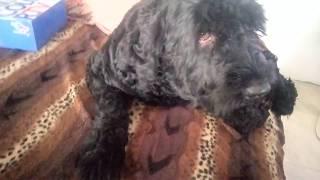 Собака просится на кровать . Русский черный терьер на диване  спит