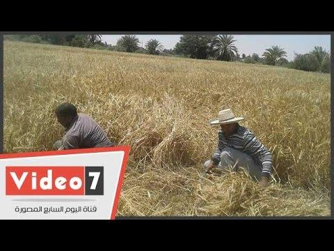 معاناة صغار المزارعين بالوادى الجديد من الحصاد اليدوى  - 07:20-2017 / 4 / 22
