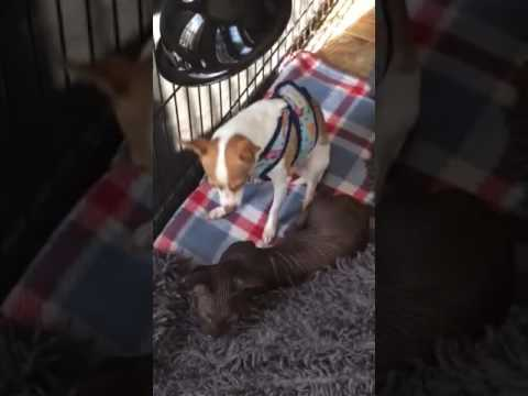 Chihuahua puppy licking BamBob Kitten