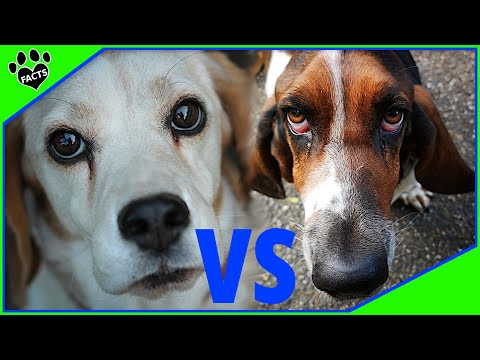 Beagle Vs Basset Hound Dog vs Dog - Which is Better?