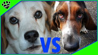 Beagle Vs Basset Hound Dog vs Dog  Which is Better?