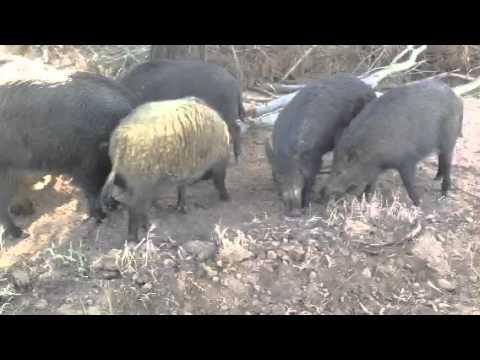 Wild boar breeding project
