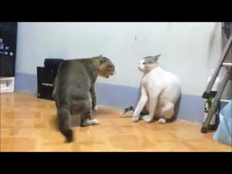 Cat vs Cat - Real Cat Fighting - Cats Fight Sounds - Cats Fight Funny - Do not Laugh or grin