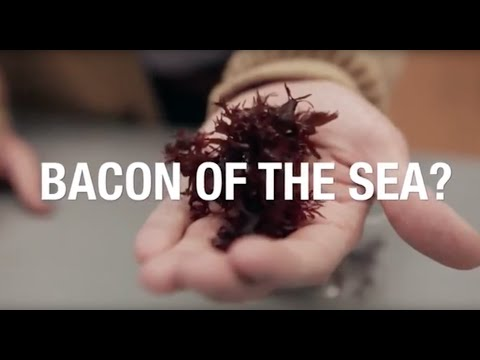 Taste testing dulse: Seaweed that tastes like bacon?