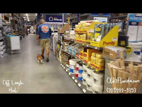 1 Yr Old Basset Hound 'Lizzy' | Orlando Dog Trainers | Central Florida Dog Trainers
