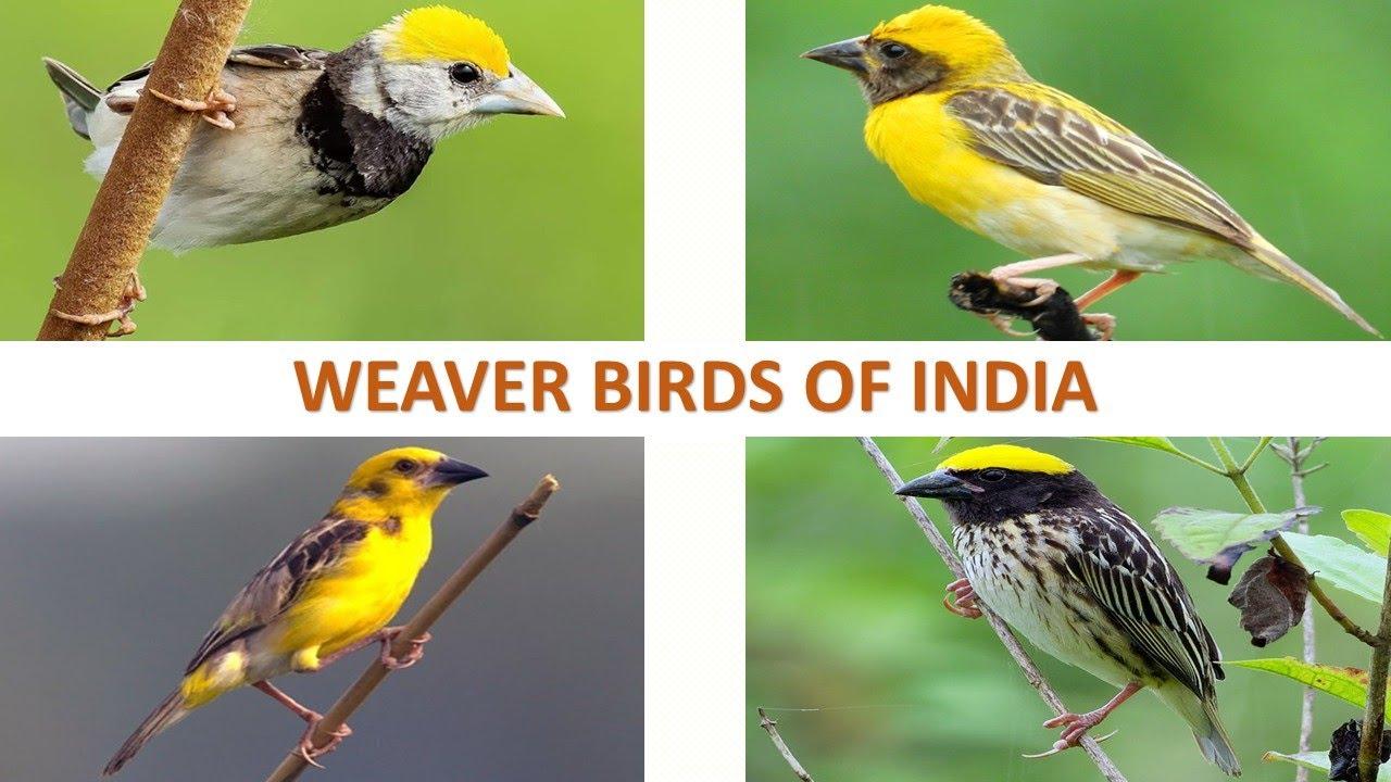 Weaver Birds of India 🇮🇳