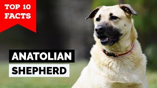 Anatolian Shepherd  Top 10 Facts