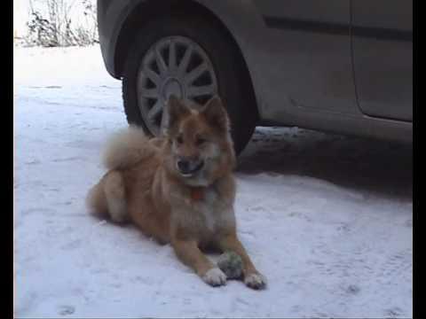 Alisa Icelandic sheepdog. 'Kick it!'