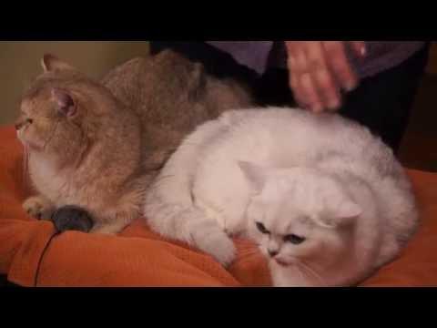 Британские кошки в котокафе «Котики и Люди»