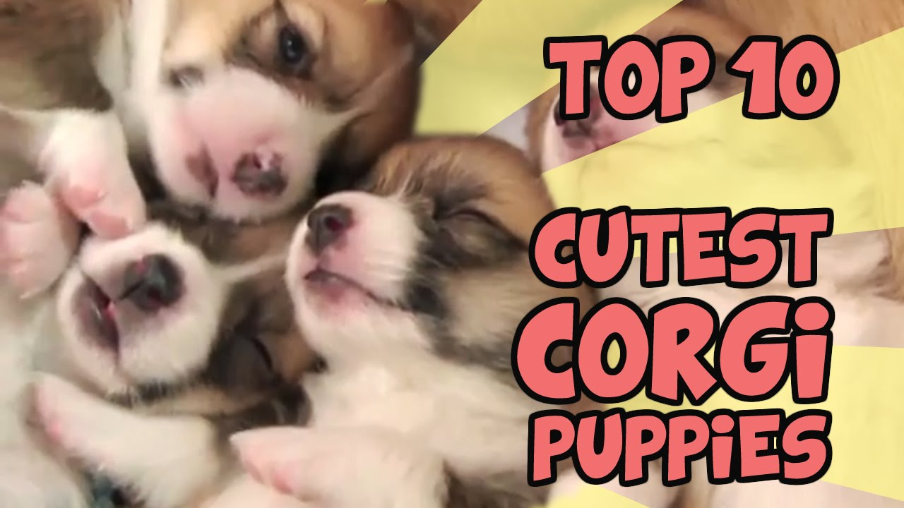Cute Corgi Puppies In Their Everyday