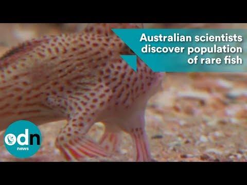 Australian Scientists Discover Population Of Rare Fish