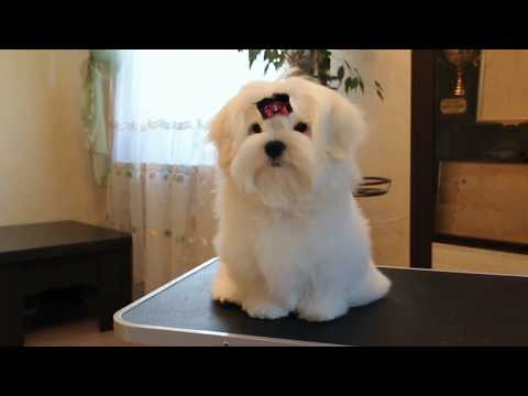 male Maltese promissing for Show and breeding