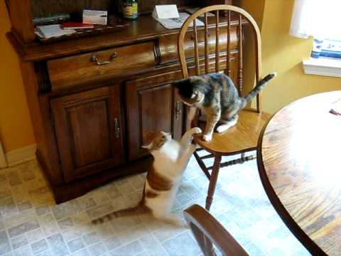 how to tell if cat is play fighting