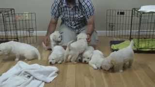 Hannah & Dutch's 5 Week Old White Golden Retriever Pups From Recherche Goldens
