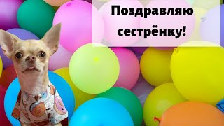 Макар чихуахуа готовится праздновать день рождения Алисы! Говорящая собака блогер / Видео