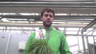 Kentucky Bluegrass vs Carpet Grass