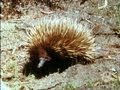The echidna (or spiny ant-eater) (1969)