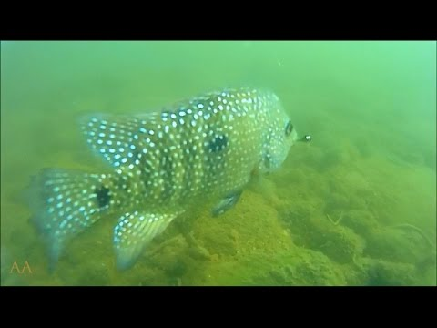 Rio Grande Cichlid Fly Fishing