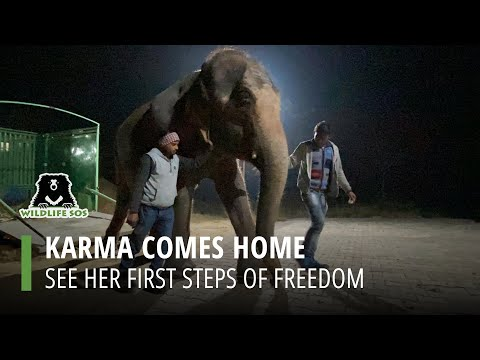 Blind Elephant Gets 1st Taste Of Freedom After Enduring 46 Years Of Abuse