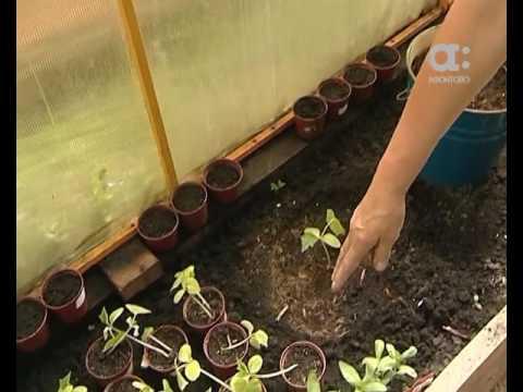 Голова садовая. Как пересадить рассаду огурцов