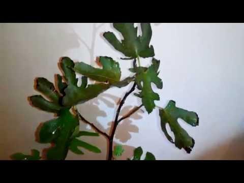 Фрукты Инжир (фига, фиговое дерево, смирнская ягода