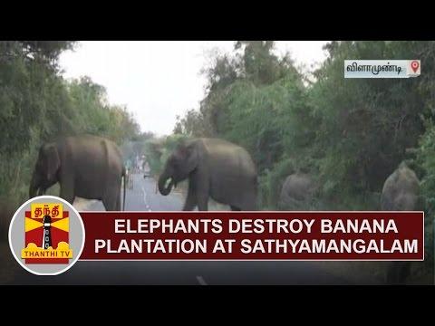 Elephants destroy Banana Plantation at Sathyamangalam | Thanthi TV