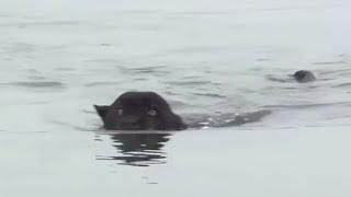 INÉDITO: Jaguar negro nadando en el Amazonas