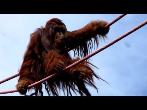 Hairy Orangutan Crossing Rope Bridge - Smithsonian National Zoo, Washington D.C.