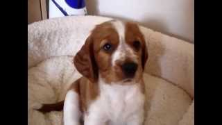6 Week Old Welsh Springer Spaniel Puppies Having Fun