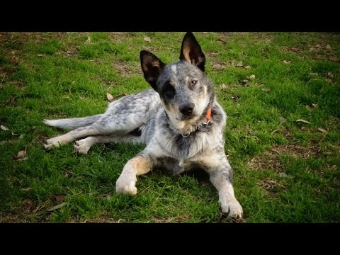 Australian Cattle Dog (Blue Healer)... Ozzie in training at 10 months old!!