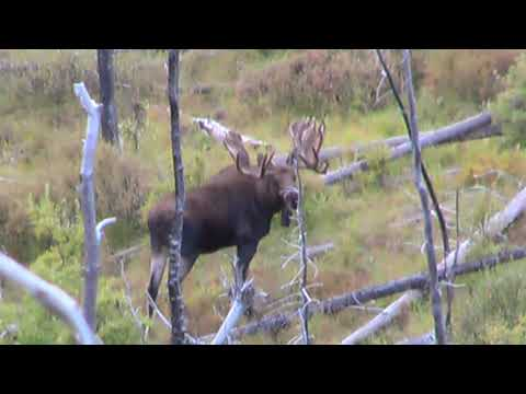 Moose Hunter Taking Shrapnel From Multiple Shots